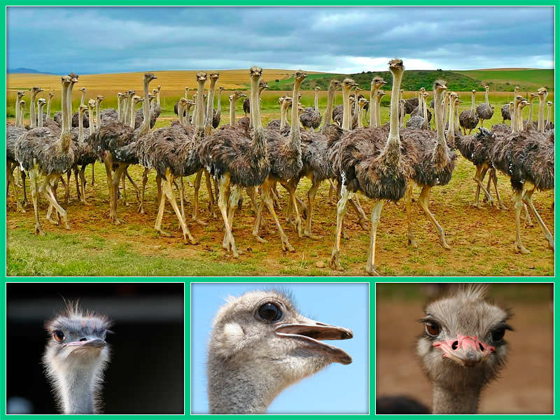 Выращивание страусов в россии 99