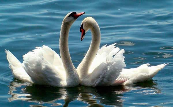 Пара грациозных лебедей