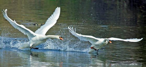 Лебеди взлетают над водой