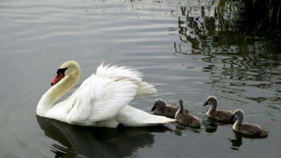 Лебедь и птенцы