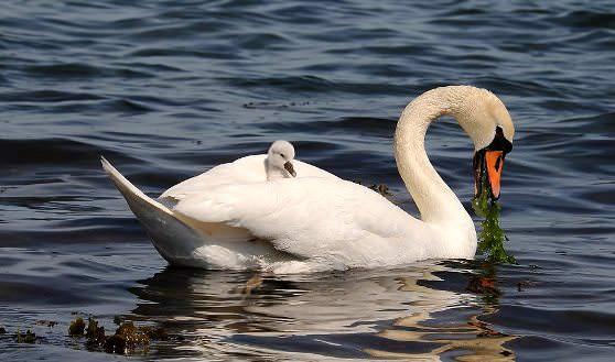 Маленький и большой лебеди